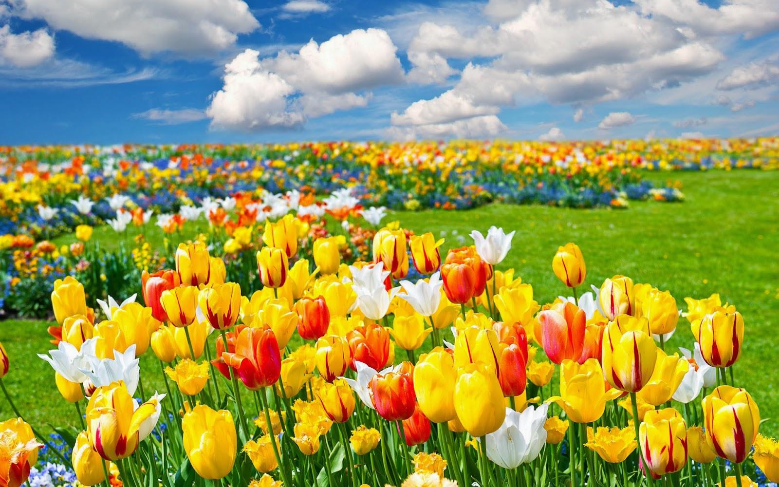 Veld vol tulpen in verschillende kleuren