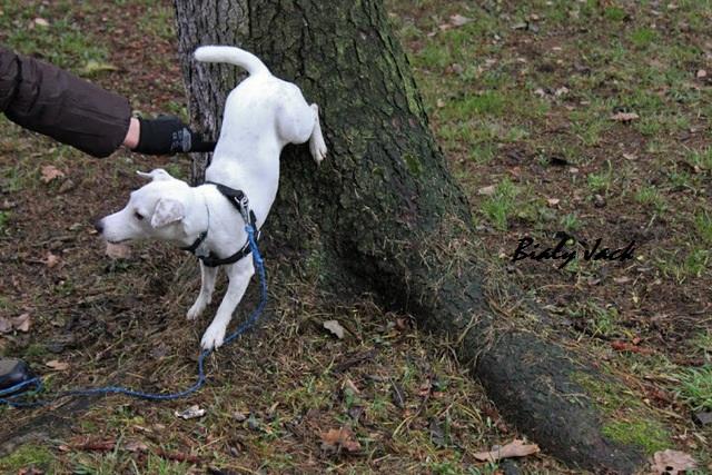 spacerów, biały jack russell terrier
