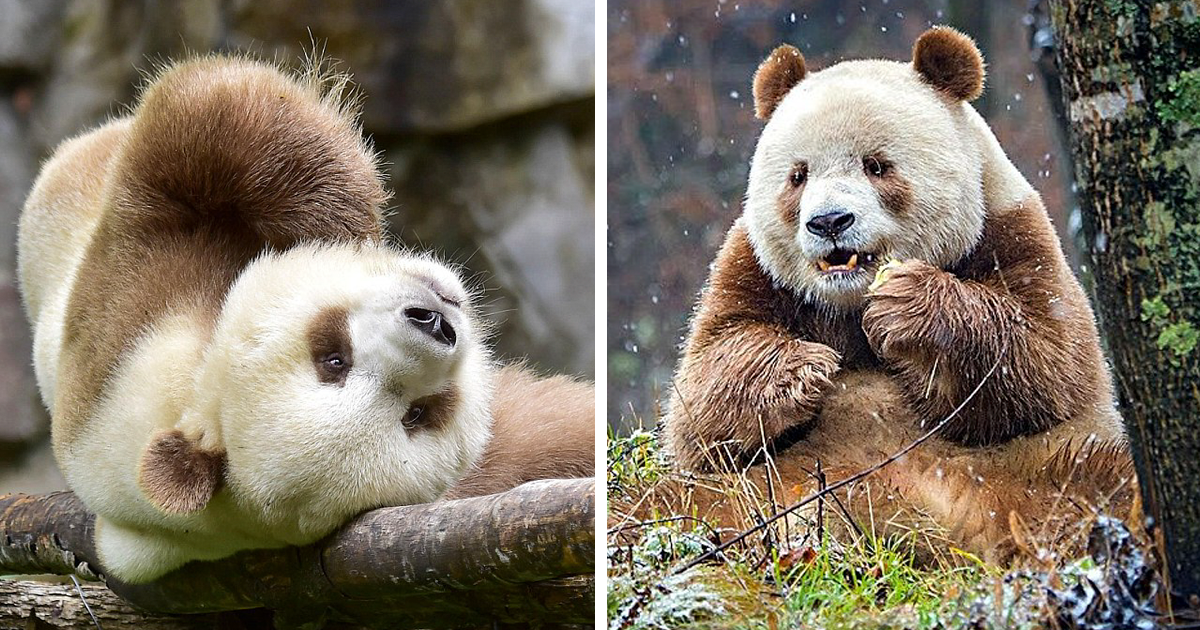 The World's Only Brown Panda Who Was Abandoned As A Baby, Finally Finds Happiness