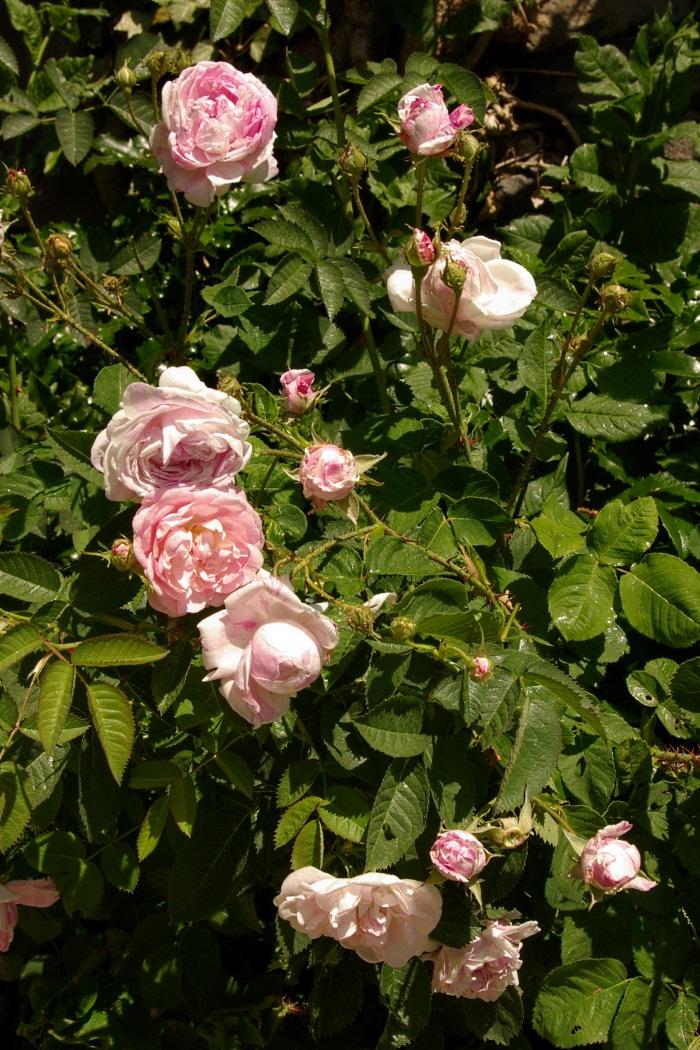 maria weiss efeu rosenthal