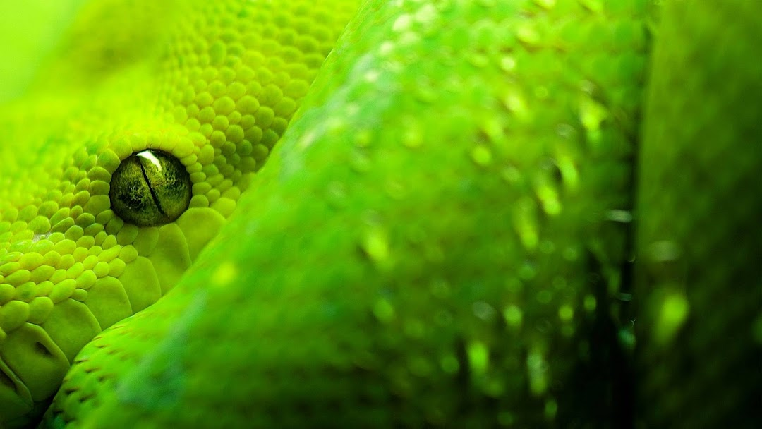 Green Snake HD Wallpaper 1