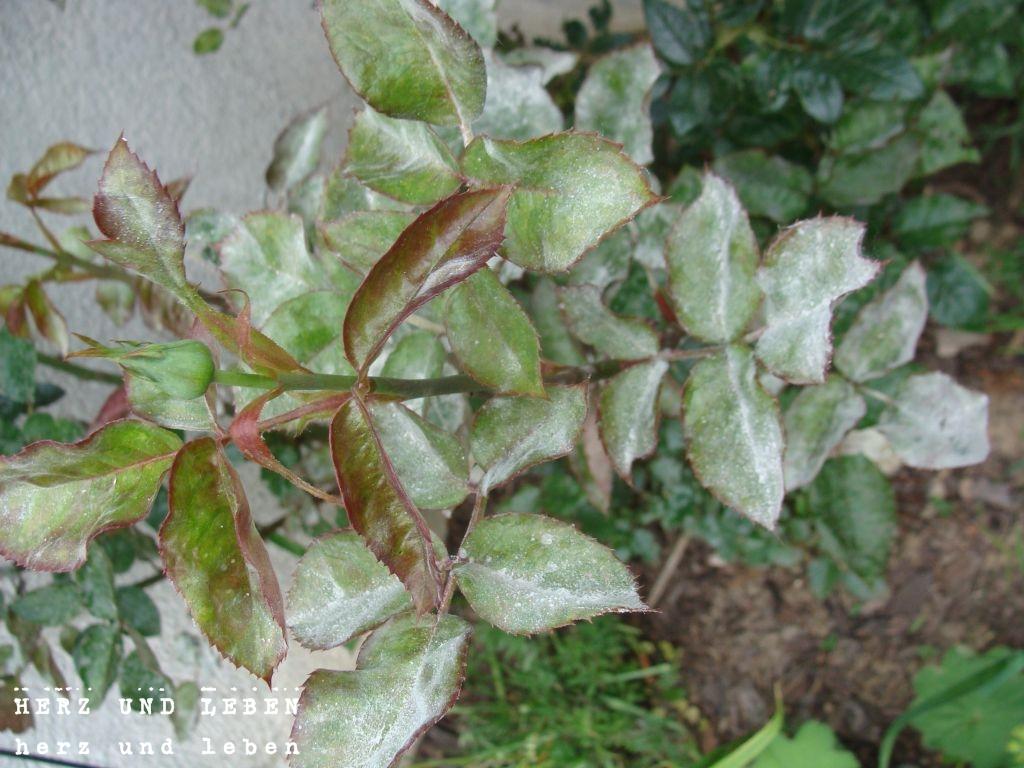 Rose Mehltau