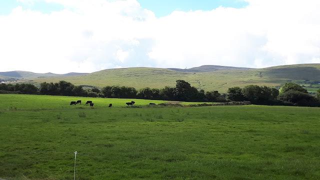 lehmät, nummi, pelto, Irlanti