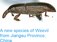 https://sciencythoughts.blogspot.com/2015/02/a-new-species-of-weevil-from-jiangsu.html