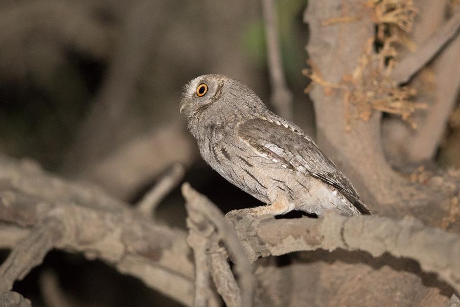 Arabian Scops Owl – Tanoumah