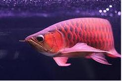 Ikan Hias Mahal perawatan sulit