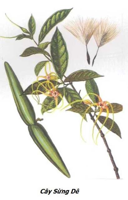 Cây Sừng Dê - Strophanthus divaricatus - Nguyên liệu làm thuốc Chữa bệnh Tim