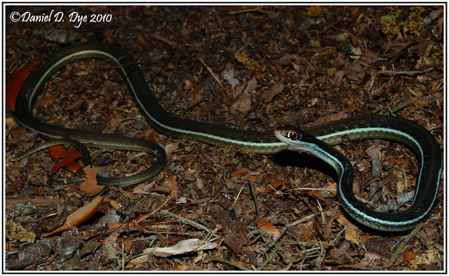 Phillip 39 S Natural World Florida 39 S Non Poisonous Snakes