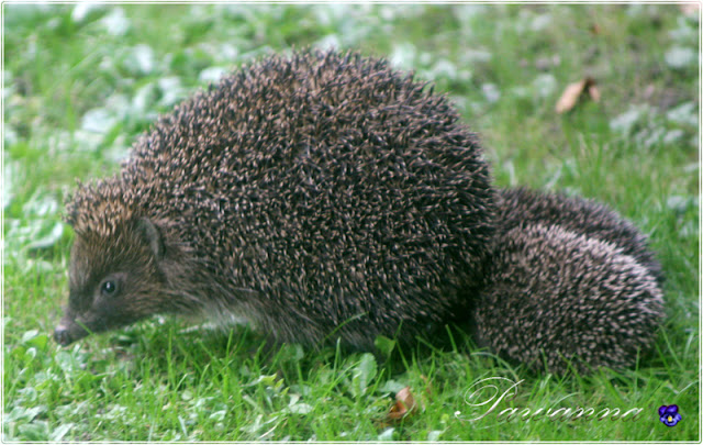 życie jeży, ciekawostki o jeżach, co powinniśmy wiedzieć o jeżach, life of hedgehogs, curiosities about hedgehogs, what we should know about hedgehogs