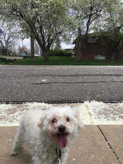 miniature poodle, raspberry, sticking tongue out