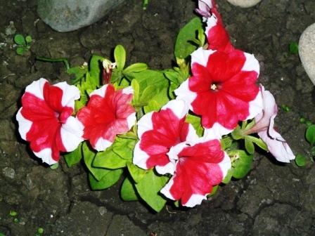 петуниив цвету