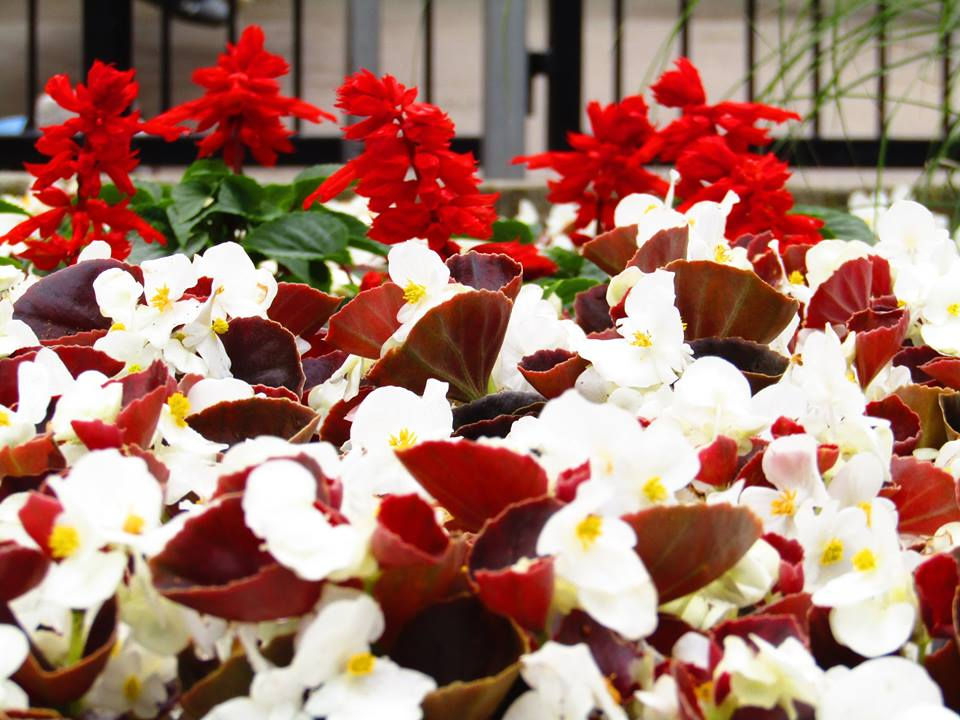 Stunning red and white flowers on display in front of the highly thrilling Shockwave.