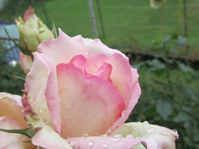 Rosa bianca rosata