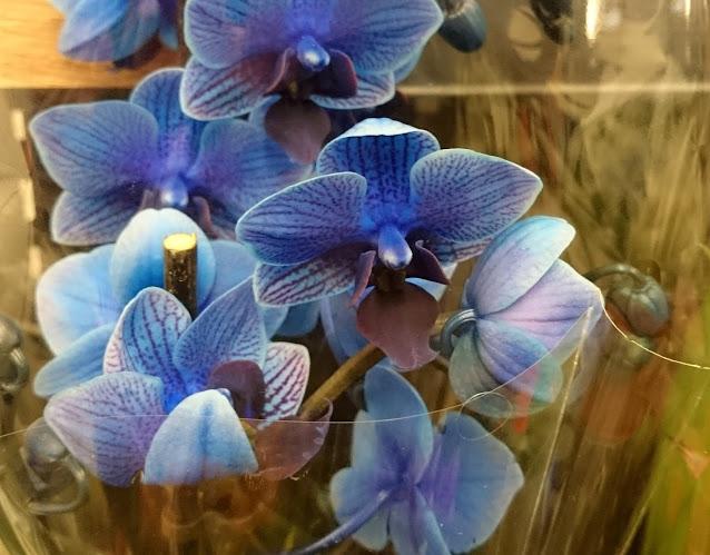 Phalaenopsis-orkideer som har blitt farget blå ved å sprøyte fargestoff inn i stammen