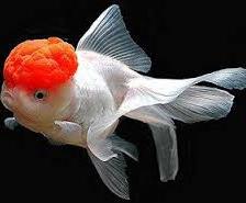 Inilah Jenis Ikan Koki Beserta Gambar Ikan Koki Oranda