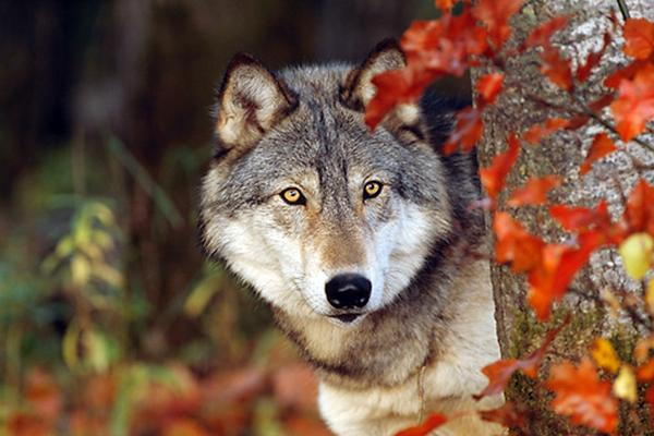 Fall Woodsy Pc Wallpaper White Wolf Breathtaking Photos Of Wolves In The Woods