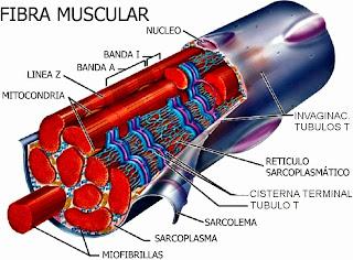 Partes de la fibra muscular esquelética