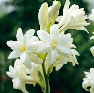 bunga-sedap-malam-mojokerto