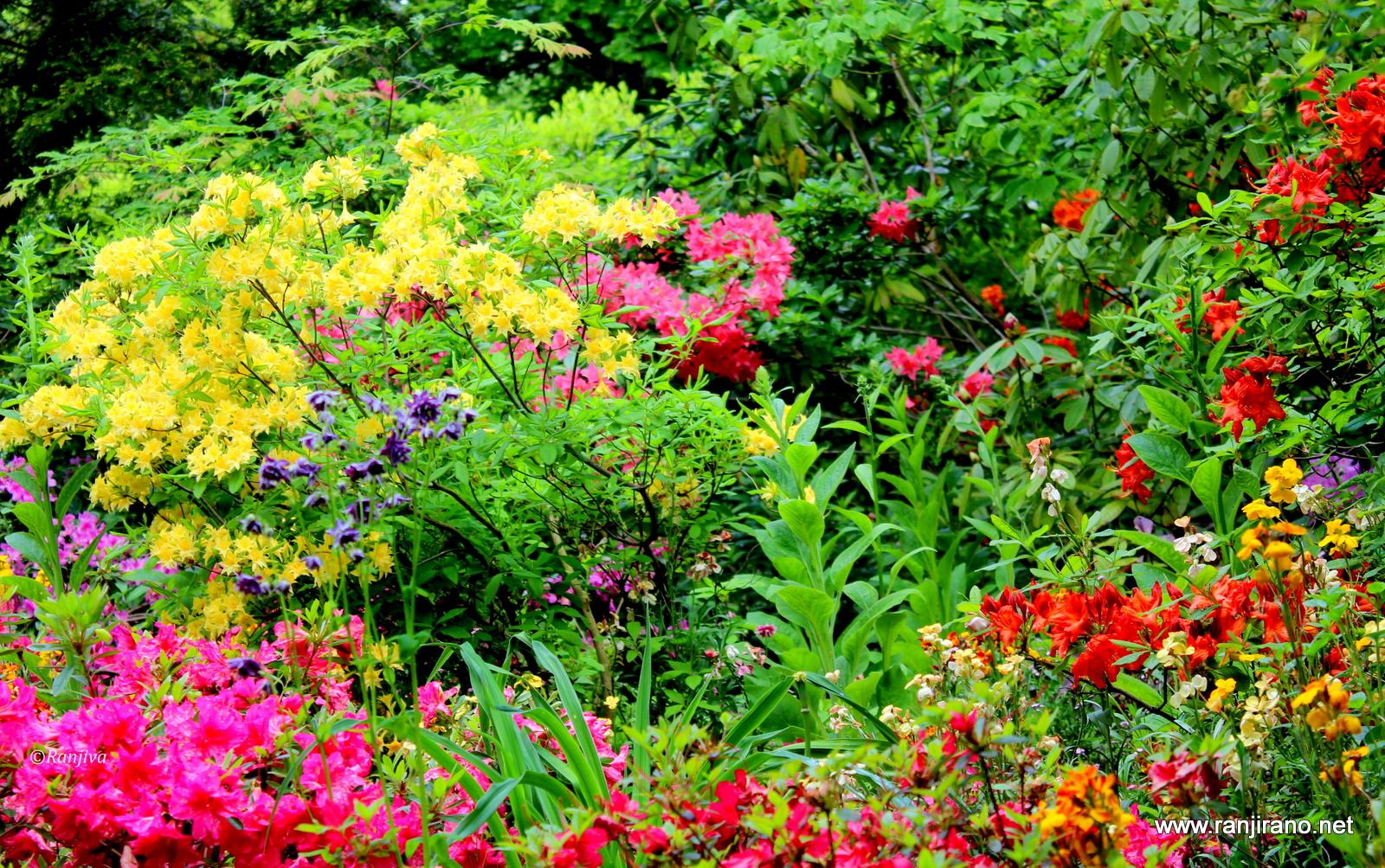 Des Azalees Japonaises Dans Toute Leur Splendeur Fleurs De Jardins