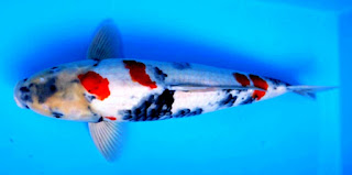 Ikan koi tercantik di dunia Ikan Koi Dainichi Showa