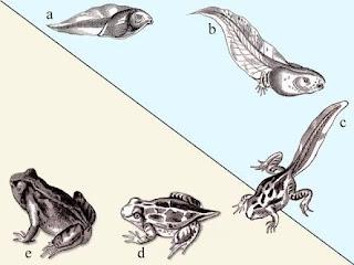 Kurbağaların özellikleri