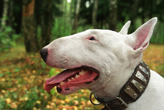 Check spelling or type a new query. Universo Diverso Bull Terrier Adoro