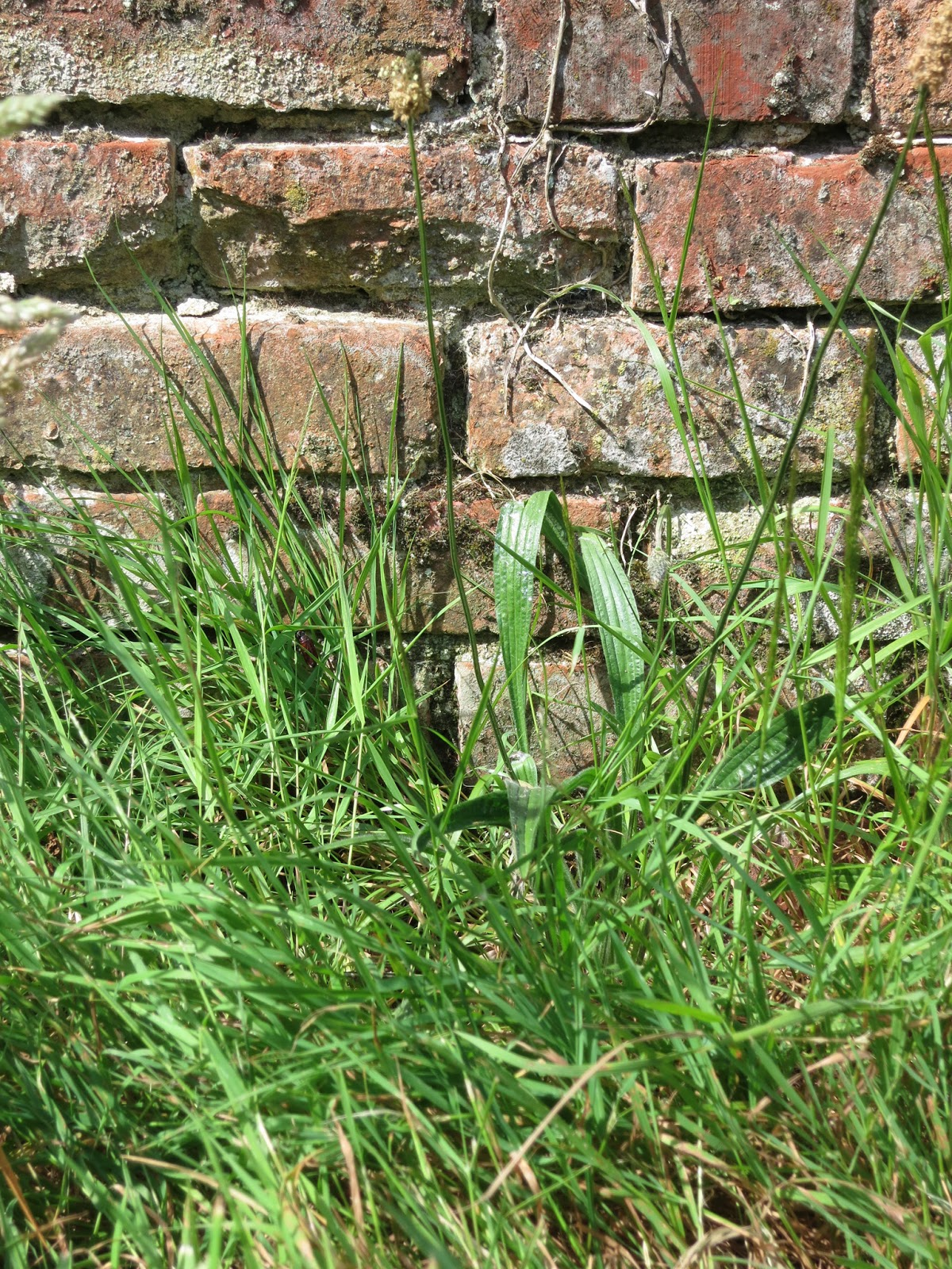 Grass and plantain in front of crumbling brick wall