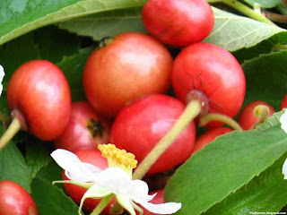 Capulin cherry fruit images wallpaper