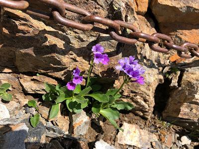 [Primulaceae] Primula daonensis – (Primula della Valle di Daone)