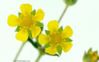 http://fotobabij.blogspot.com/2016/03/poziomkowka-indyjska-kwiaty-potentilla.html