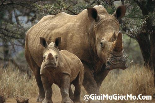 Giải mã giấc mơ thấy Tê giác & ngủ nằm mơ thấy con Tê giác