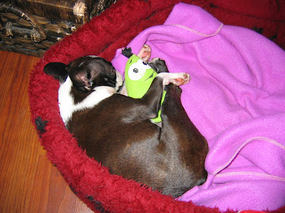 Sinead the Boston terrier and her toys