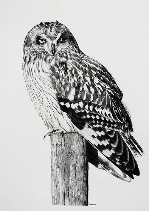10-Short-Horned-Hootlet-Owl-William-Bill-Harrison-Majestic-Wildlife-Carbon-Pencil-Drawings-www-designstack-co