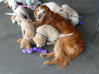 Gaya, a golden retriever, lies on the ground and looks up at the camera as she is surrounded by a group of six yellow lab puppies playing together.