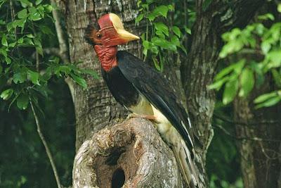 Image result for Burung melilin
