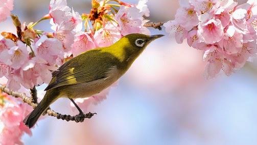 Berbicara wacana burung pleci atau burung kacamata  PLECI JEPANG : MENAMBAH PESONA NEGERI SAKURA