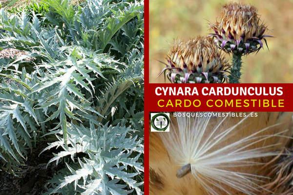 Cynara cardunculus, cardo comestible cultivo para los bancales profundos