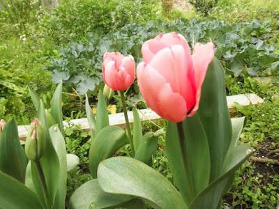 flores de tulipanes rosas, en el huerto
