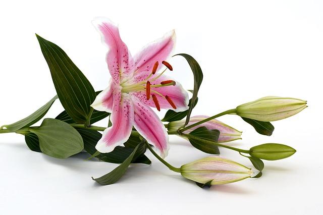 hoa ly hồng đẹp nhất thế giới 5