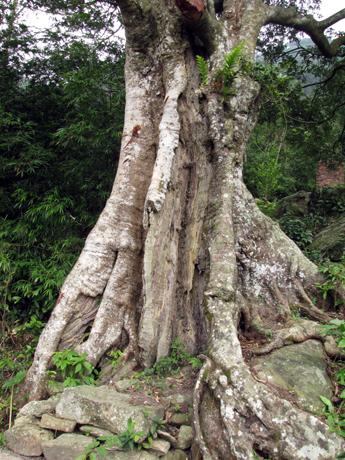 Cần có giải pháp bảo vệ cây vải cổ thụ ở chùa Hồ Thiên