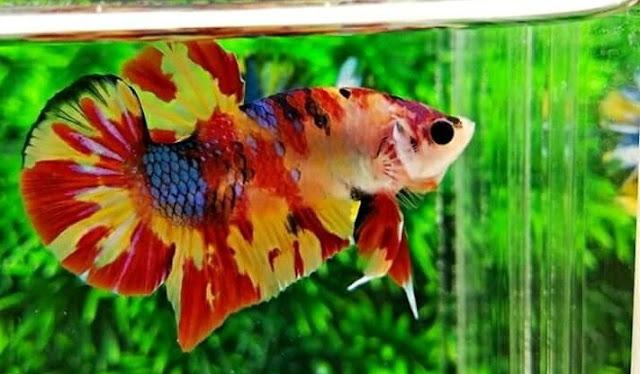 Ikan Cupang Koi Candy Nemo Emerald - Ikanhiasku.net