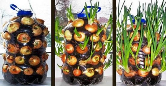 Imagen de Hacer crecer fácilmente cebollas en CASA [Suministro interminable de cebollas]. 19