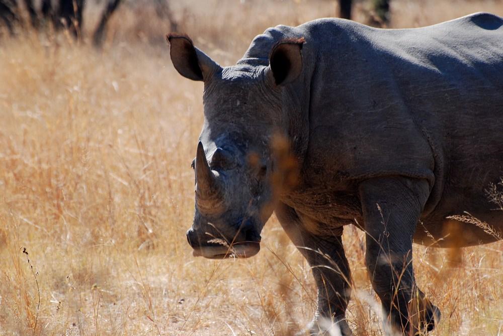 Rhinocéros blanc (Ceratotherium simum)