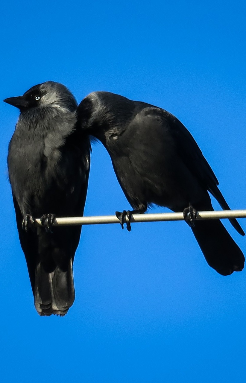 Pair of jackdaws.