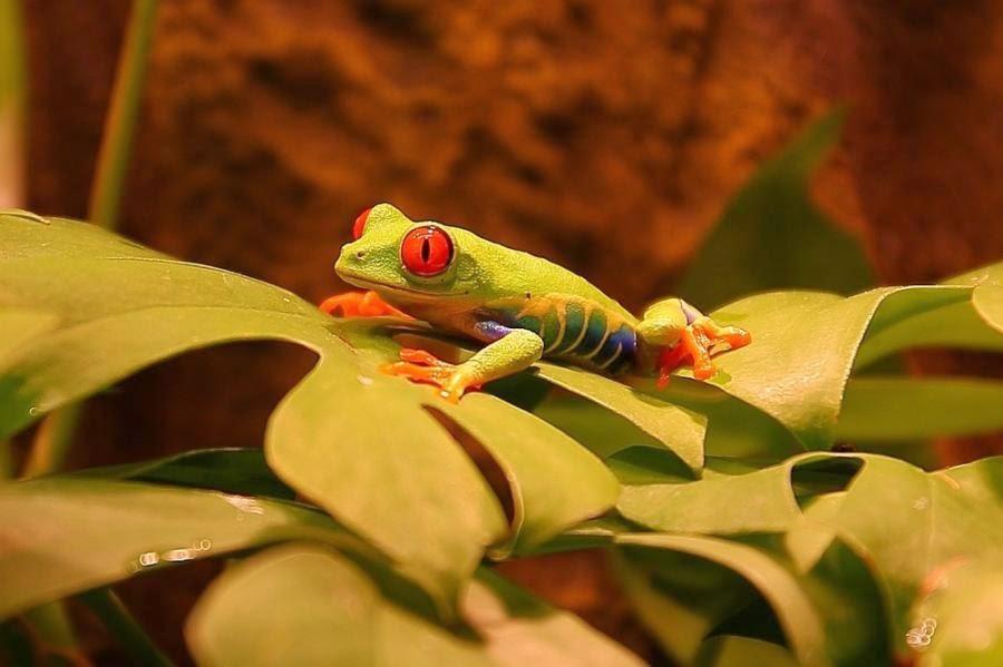 imagenes de ranas verdes con ojos rojos