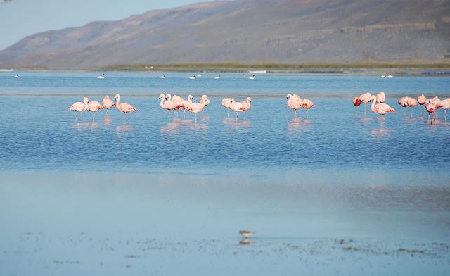 Flamingos na Laguna Nimez em El Calafate