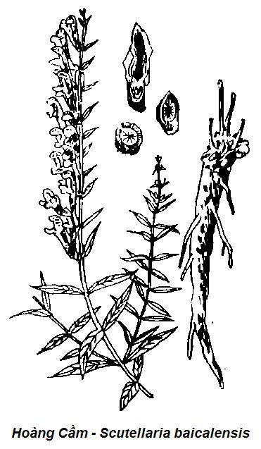 Hình vẽ Hoàng Cầm-Scutellaria baicalensis-Nguyên liệu làm thuốc Hạ Huyết Áp