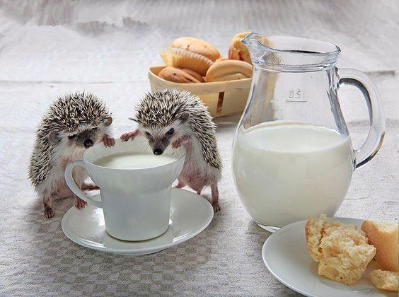 nhím kiểng uống sữa