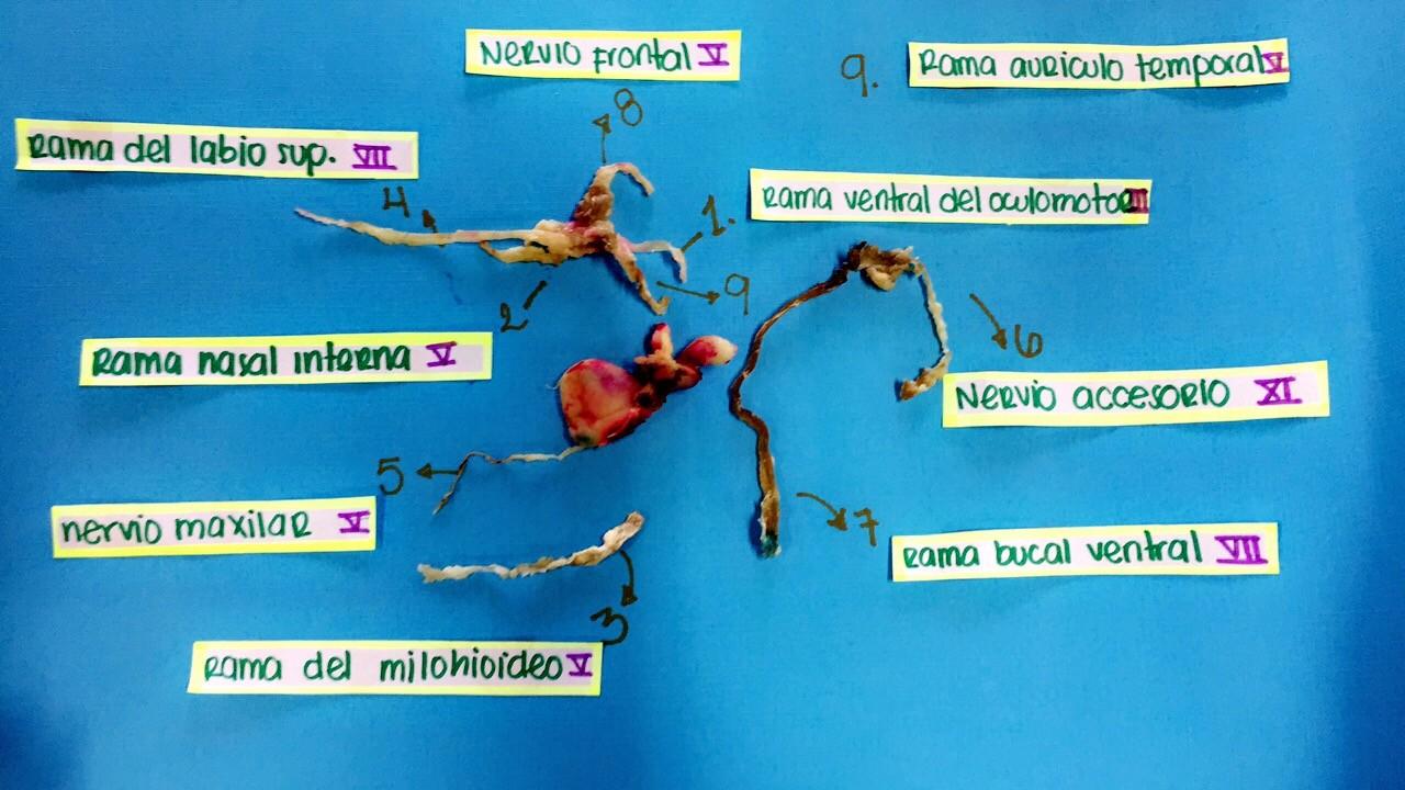 Anatomia comparada (cabeza de cerdo): Disección V Inervacion Sistema ...