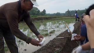 Petani Bareng Basmi Hama Tikus Sawah Dengan Popok Bayi, Begini Caranya
